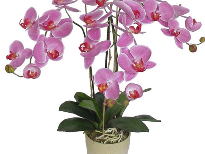 картинки комнатная орхидея так разрушает