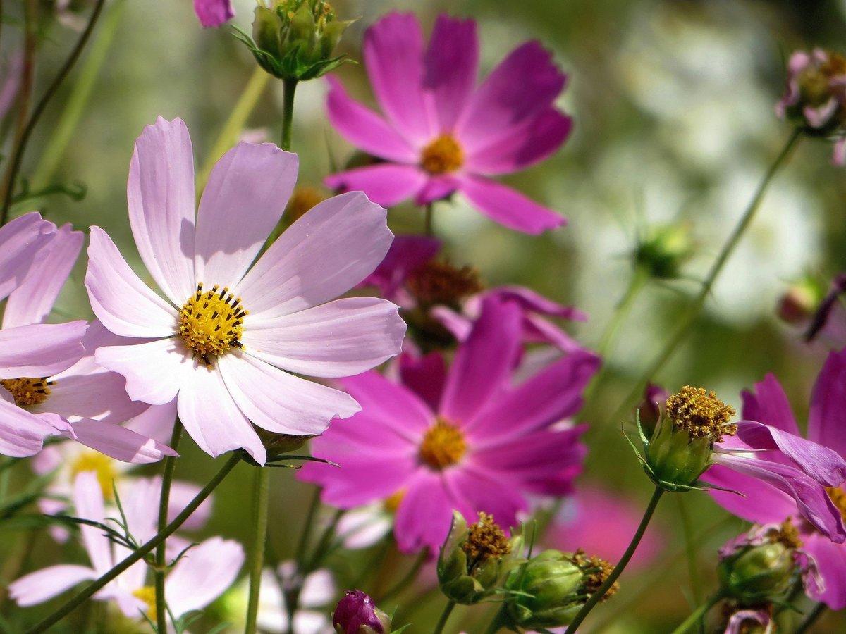 Днем, космея картинки цветов