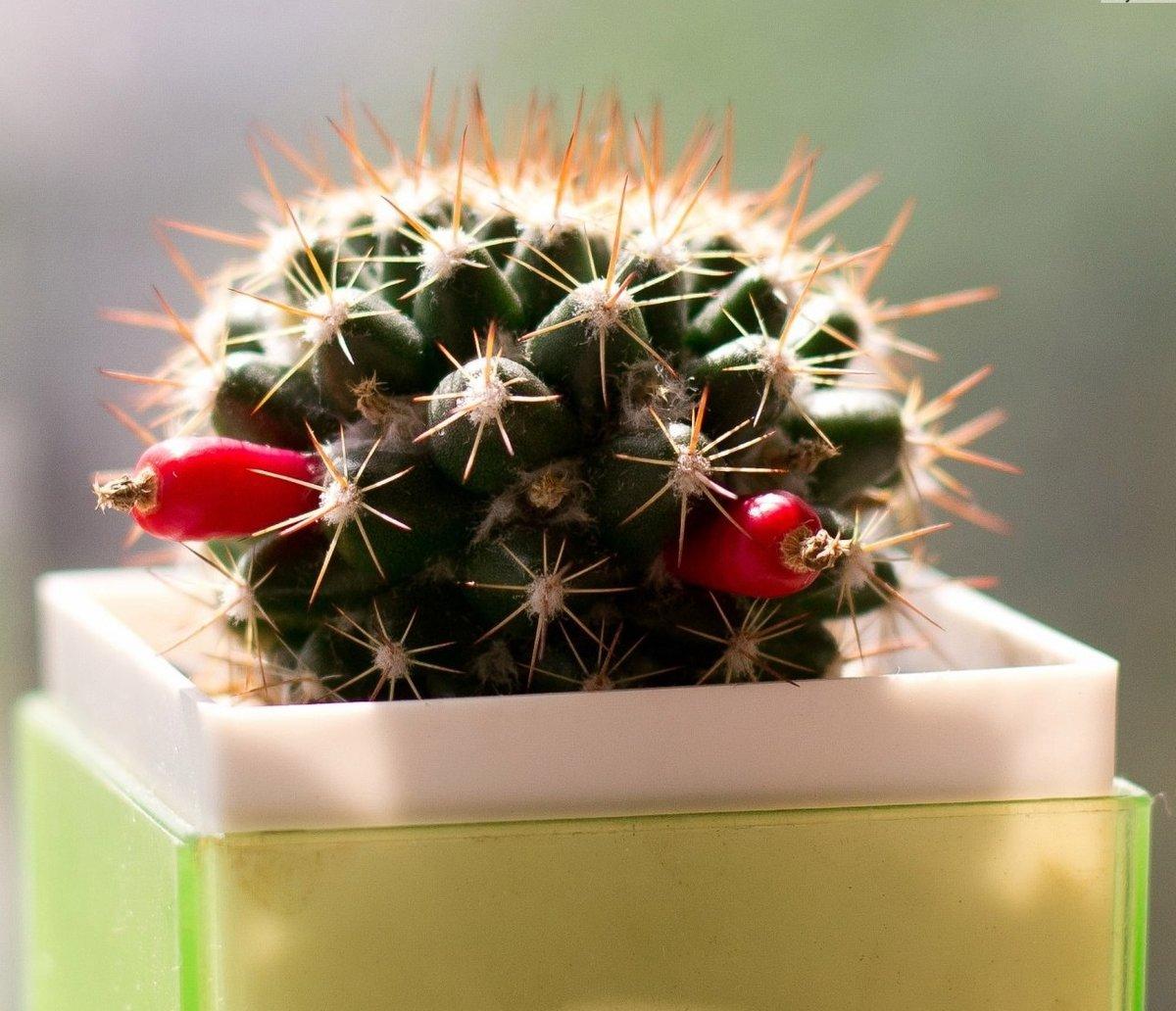 фотогалерея домашних кактусов они такие разные