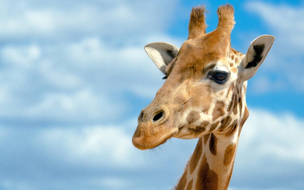 Картинки красивые жирафы, кожаной свадьбы