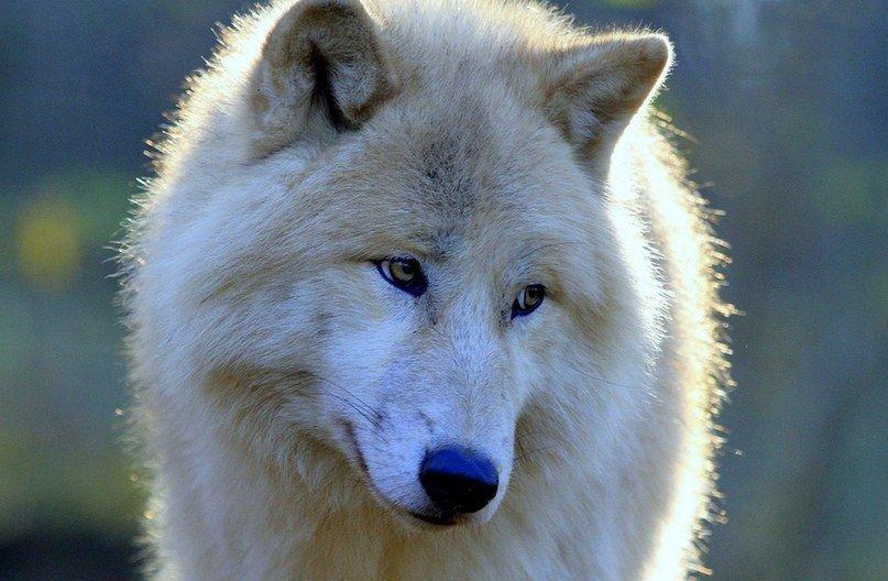 Картинка надпись белые волк