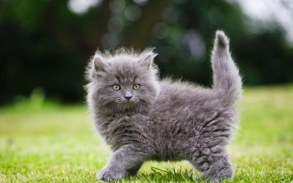Картинки с серыми котятами