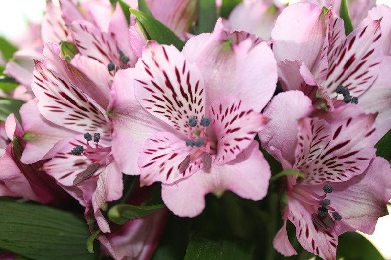 Цветы для букетов похожие на лилии