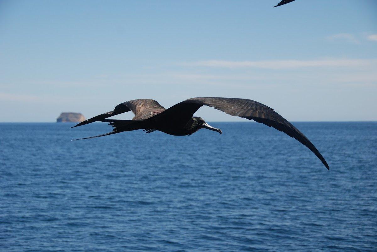 Показать фото птицы фрегат