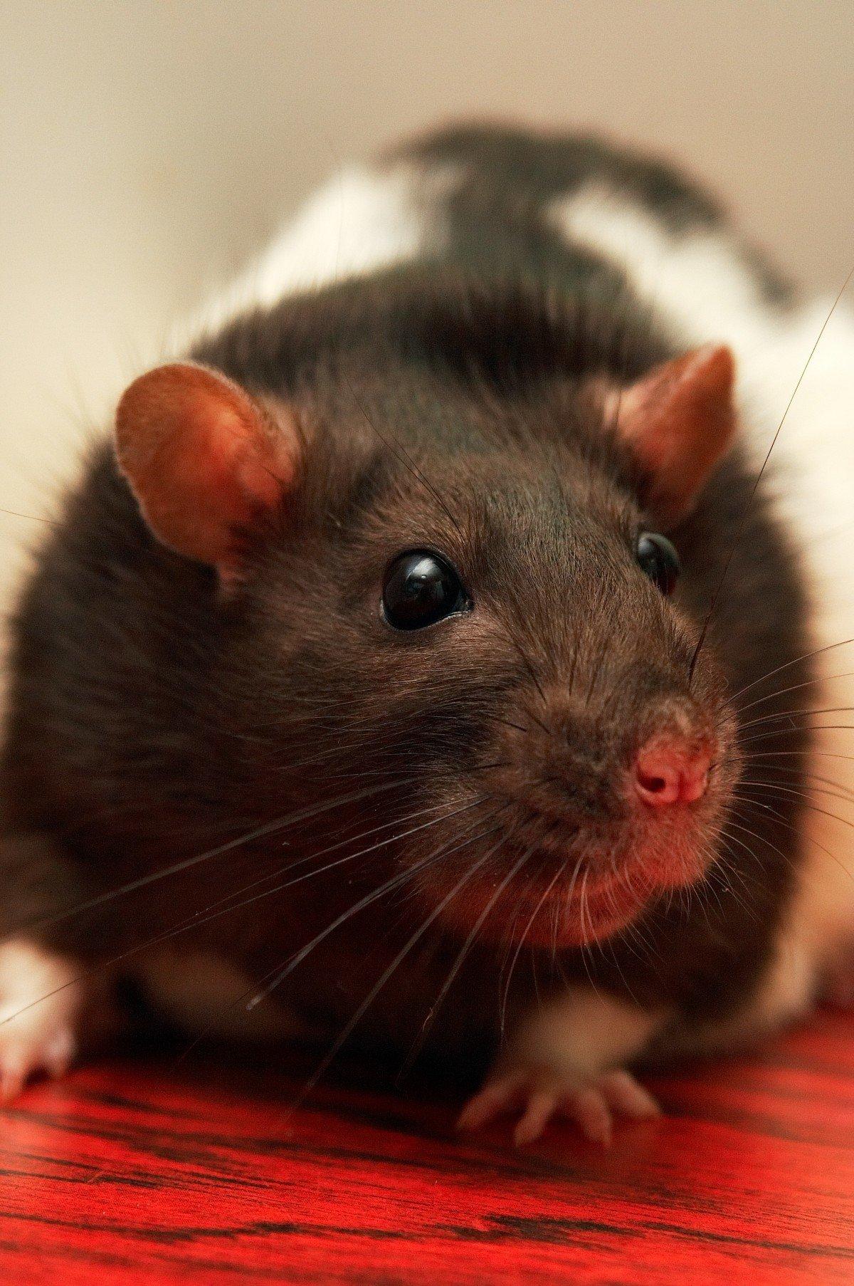 Домашние крысы картинки крыс