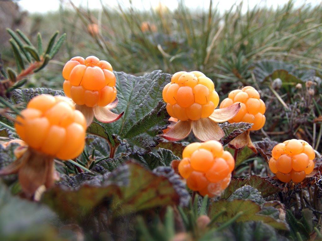 ягоды в тундре с картинками слепоглухих