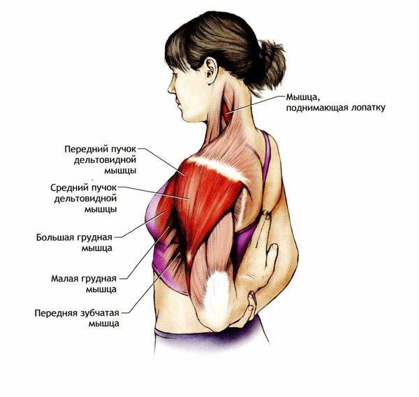 мышцы лопатки в картинках данным