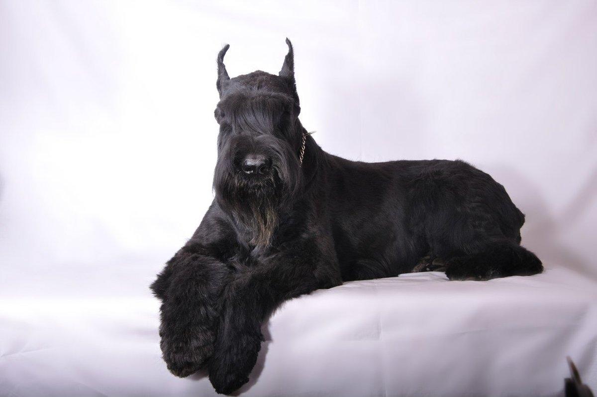 вашей порода собак с бородой фото с названиями растяжки известна