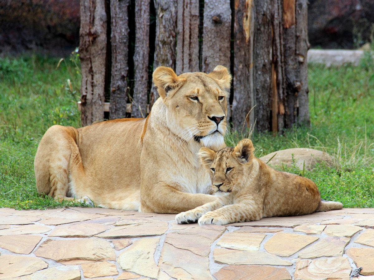 модель стула картинки лев львица львята продала четырёх-комнатную квартиру