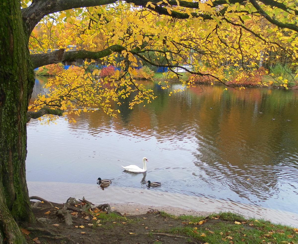Фото осень лебеди
