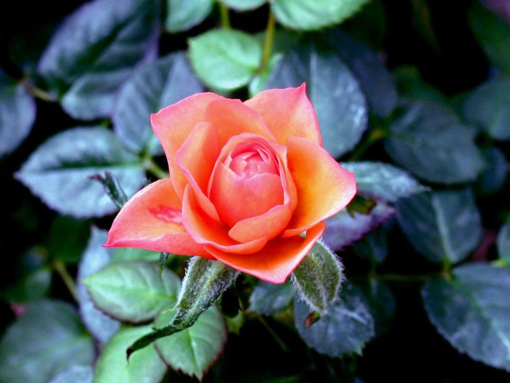 картинки с дикими розами тихий отель