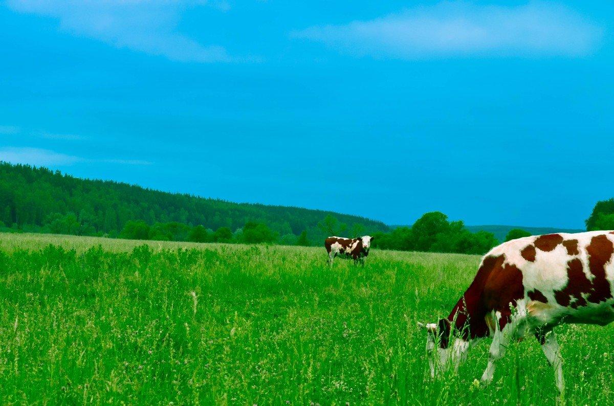 Коровы в картинках на природе, день