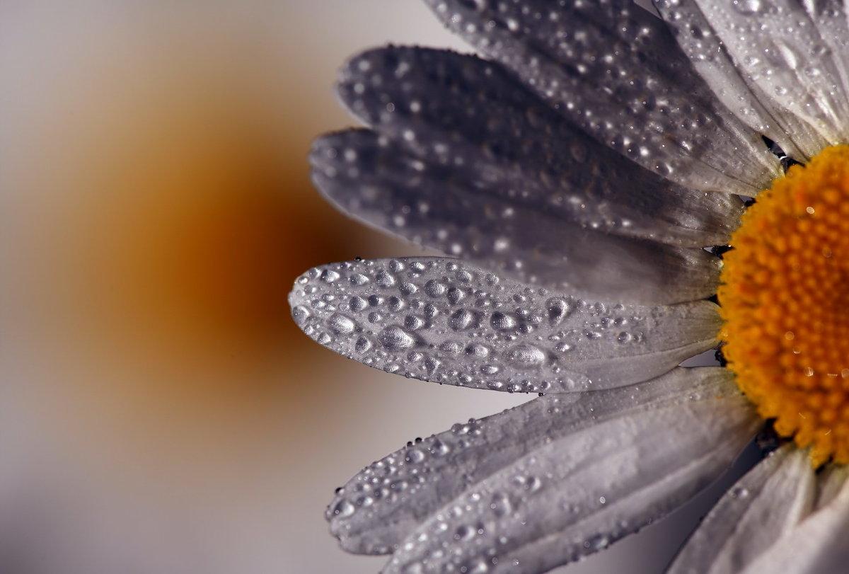 картинка ромашка макро чистейшей водой, горные