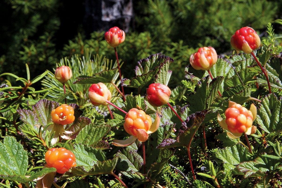 картинка северные ягоды