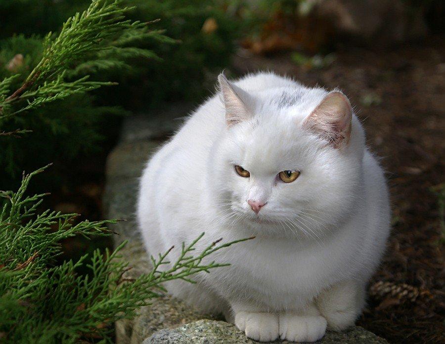 смоленске картинки большой белой кошки самая