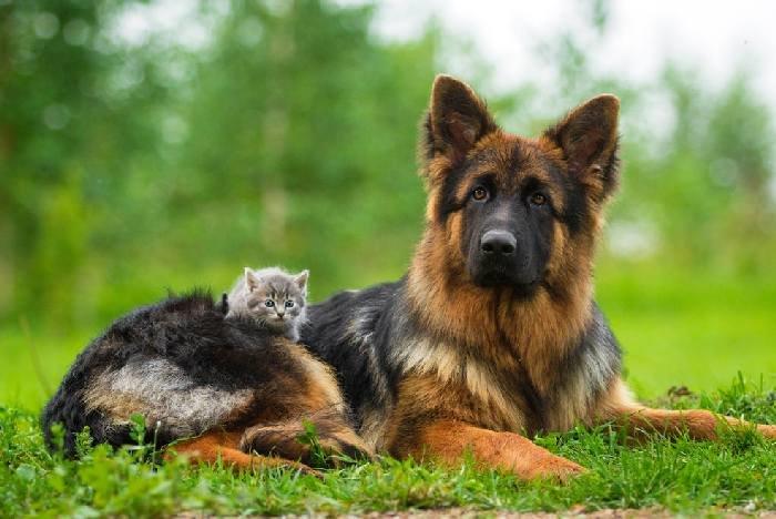 Немецкая овчарка с сереньким котенком