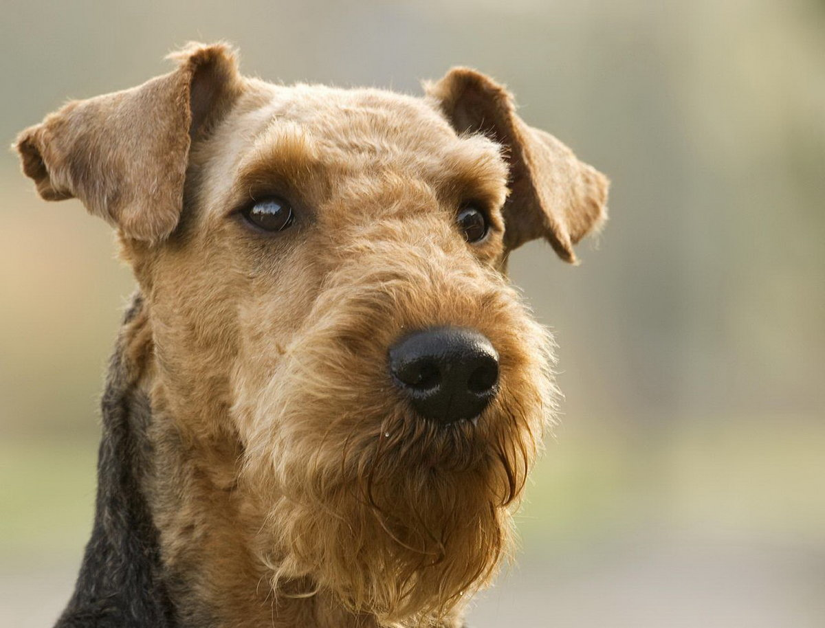Known as the King of Terriers the Airedale is indeed the largest of all terriers The breed originated in the Aire Valley of Yorkshire and was created to