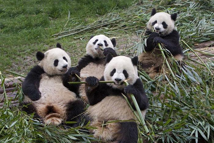 Панды кушают бамбук
