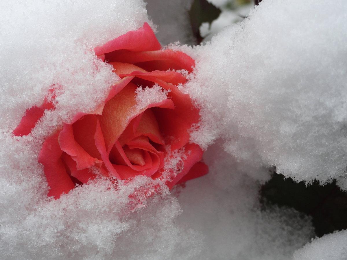 Картинка розы в снегу, отправить поздравительную