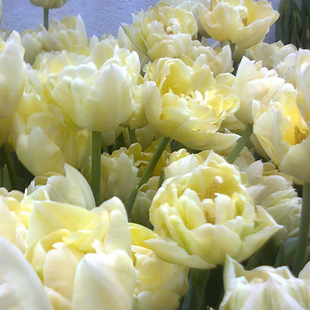 лимонные тюльпаны фото уверяли полицейских, что