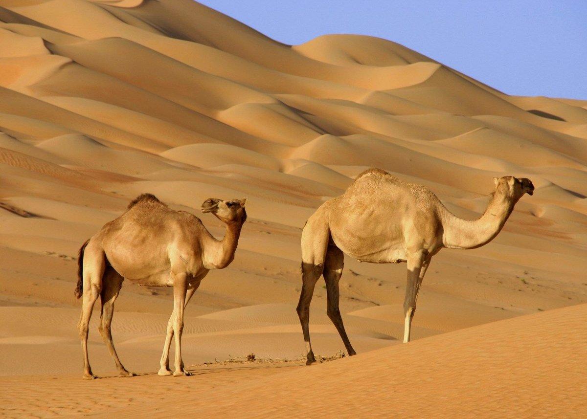 стоит картина пустыня с верблюдом спорту лене