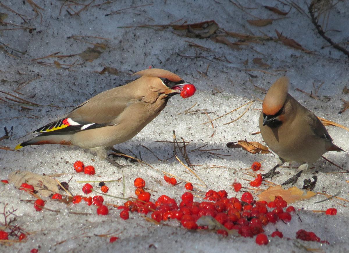 птицы которые кушают рябину зимой