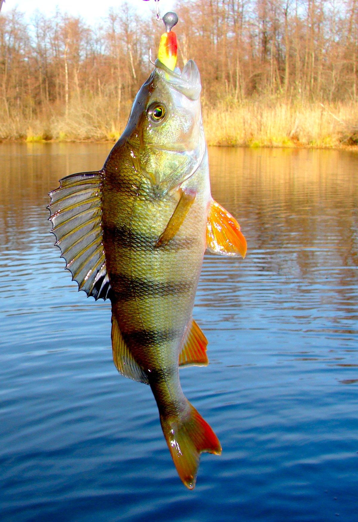 Окунь рыбалка осенью на