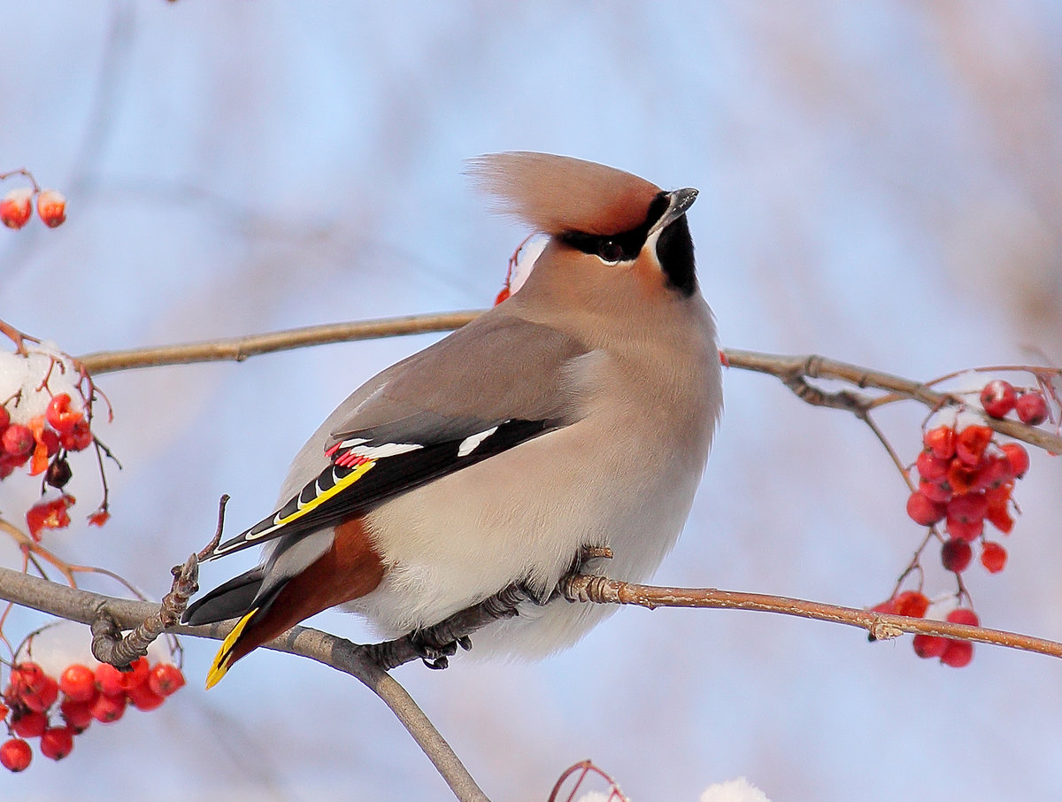 Птицы с хохолком картинки и названия птиц