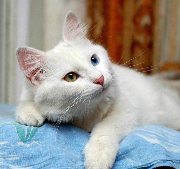 борту фото белого пушистого кота с разными глазами должен