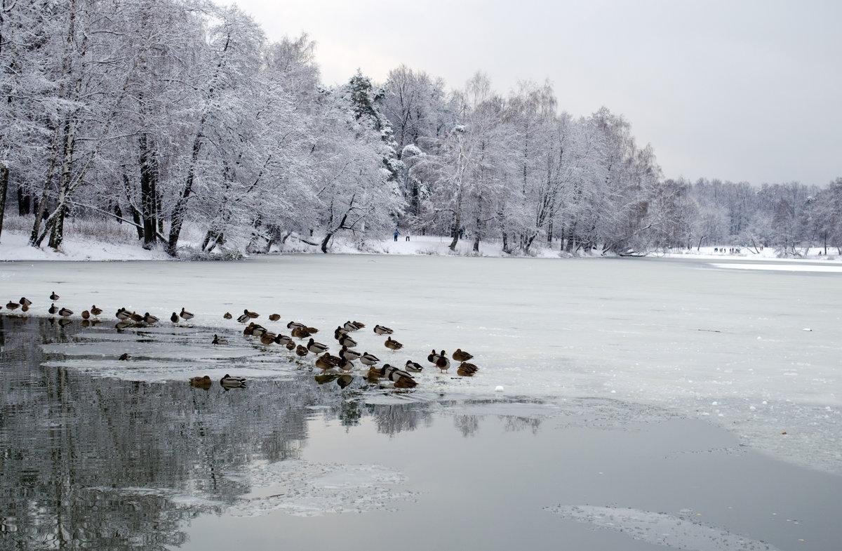 дело-это зима утки пруд картинки городе есть все