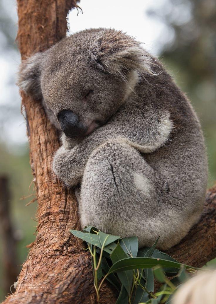 пастила довольно коала фото животного есть такие