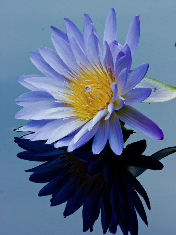 Синее отражение голубого лотоса  в воде.