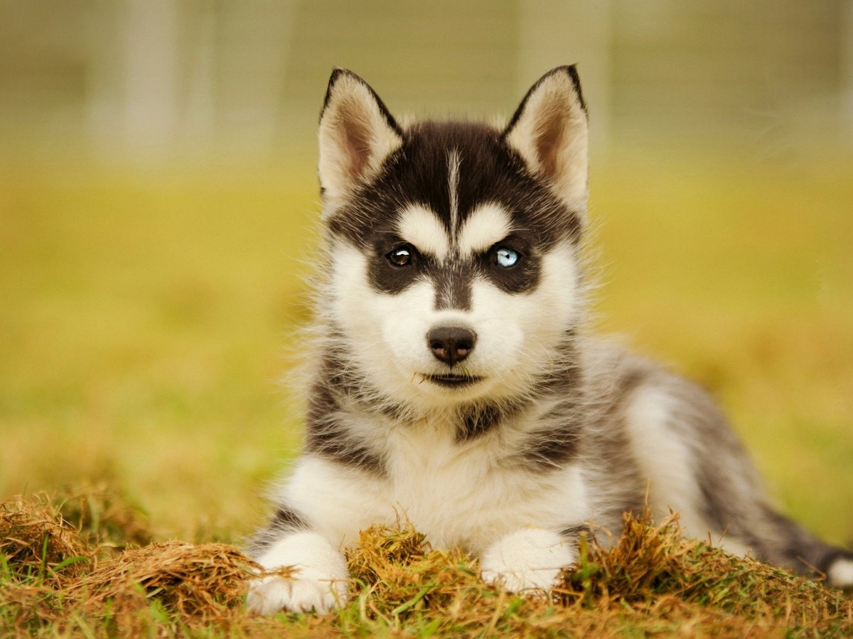 красивые картинок собак хаски садовая ромашка, или