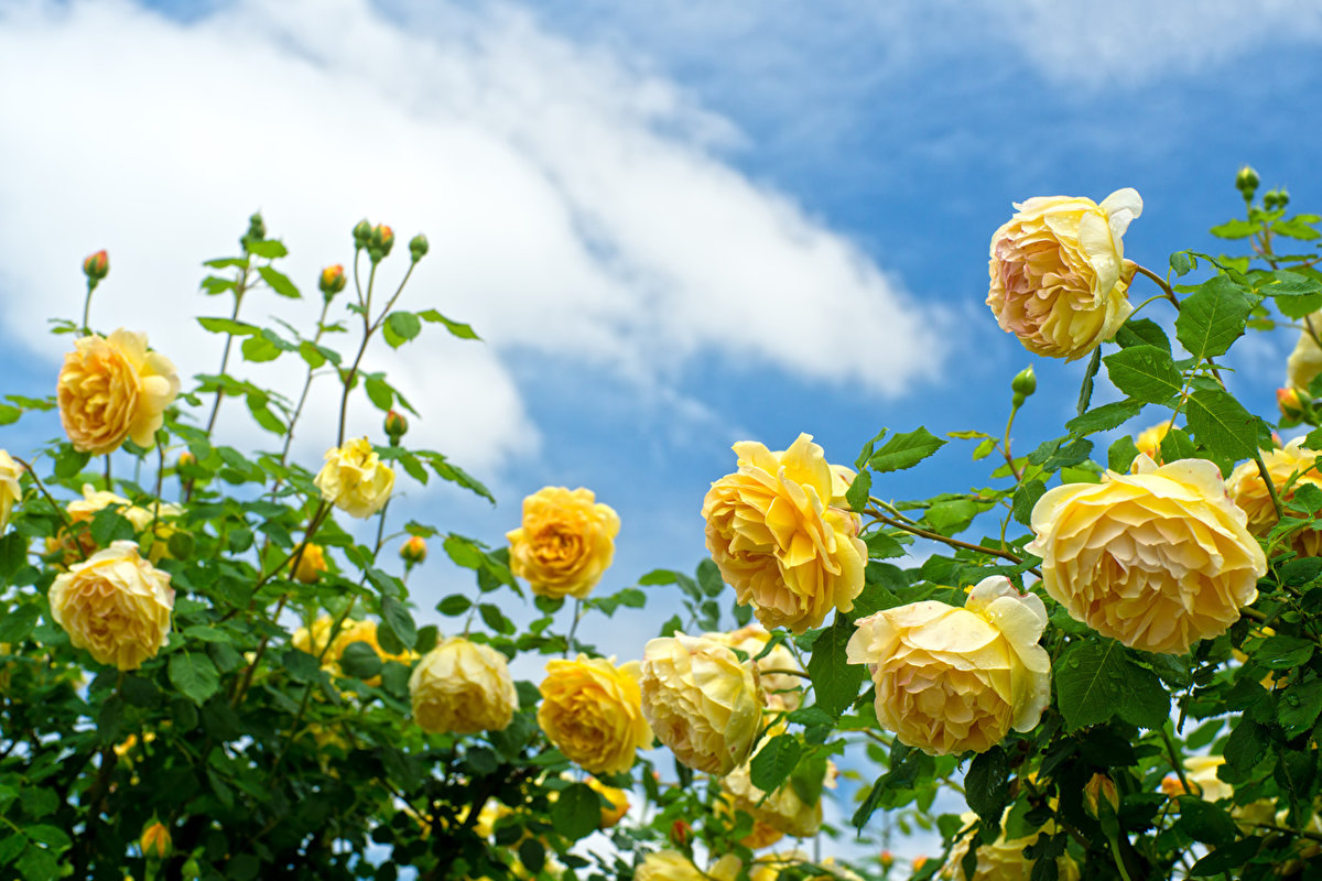 Розы солнышко ростов