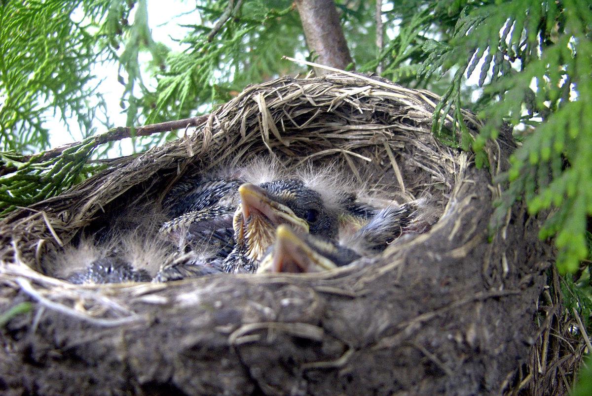 птицы их птенцы и гнезда картинки
