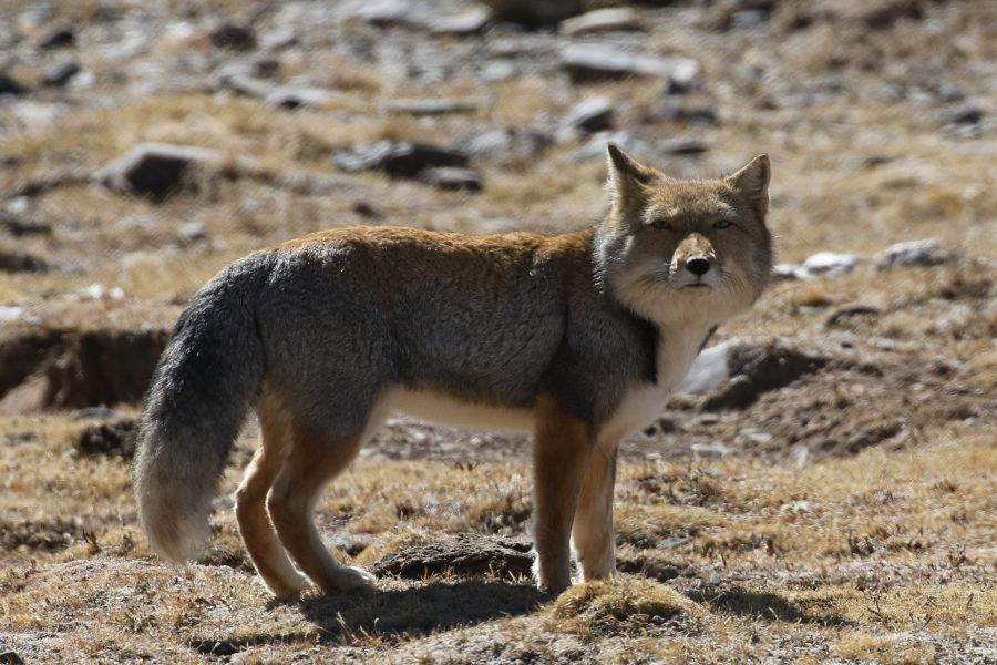 задуман тибетская лисица фото самые