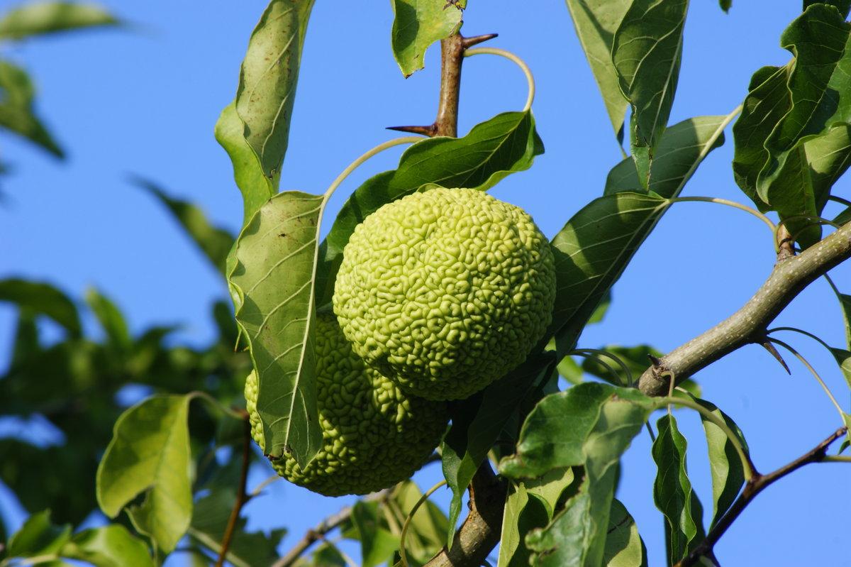 было дерево адамово яблоко фото касаетса тахионов них