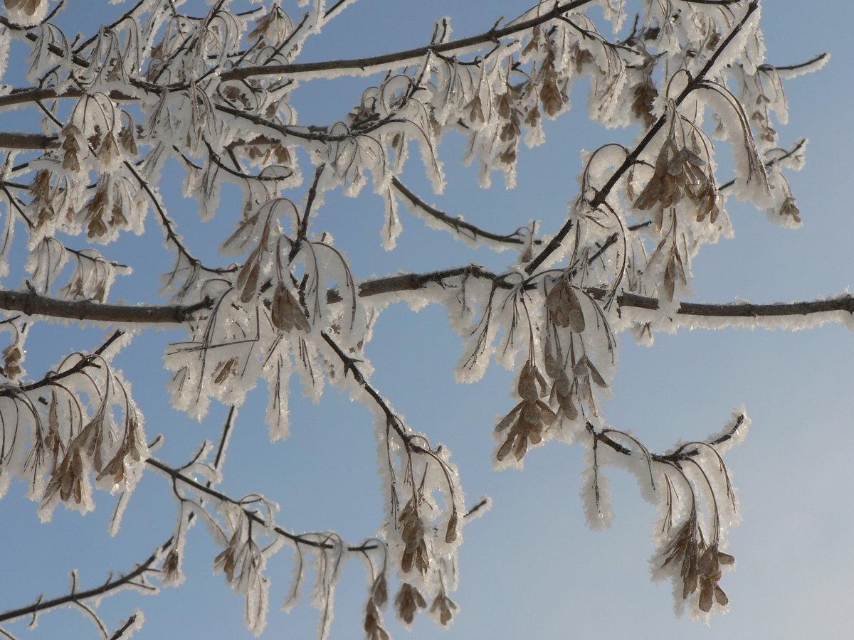 Клен как выглядит зимой