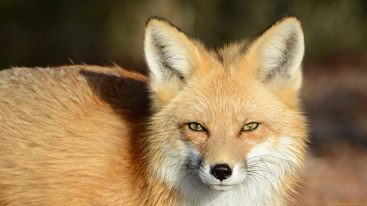 какие картинки лисы с зелеными глазами получится