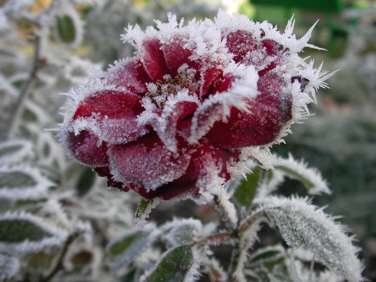 наши замороженные цветы фото сейчас