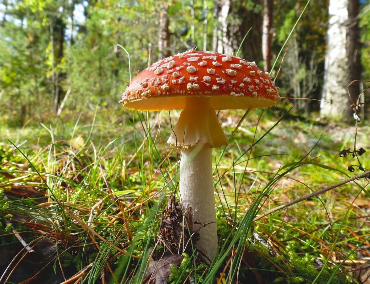картинка с грибами мухомор полки