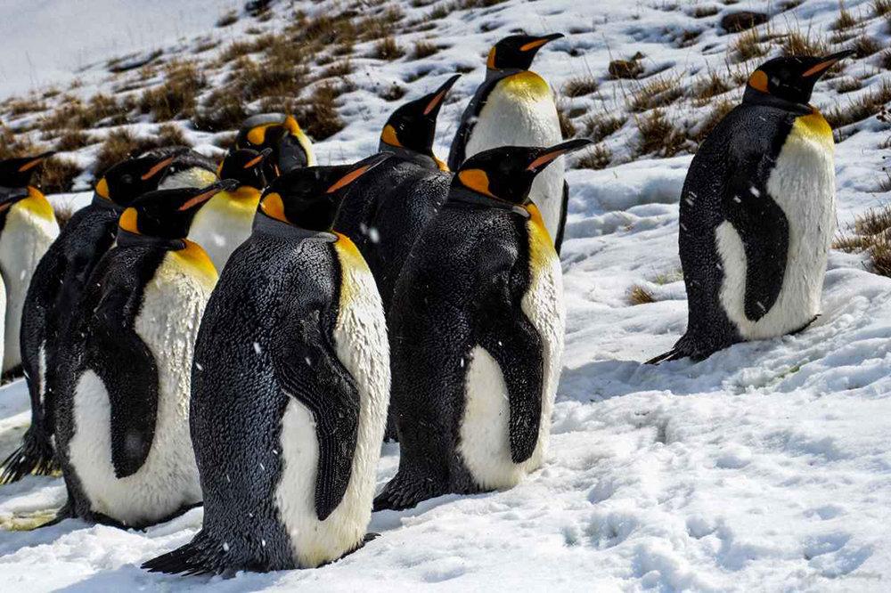 Императорские пингвины картинки