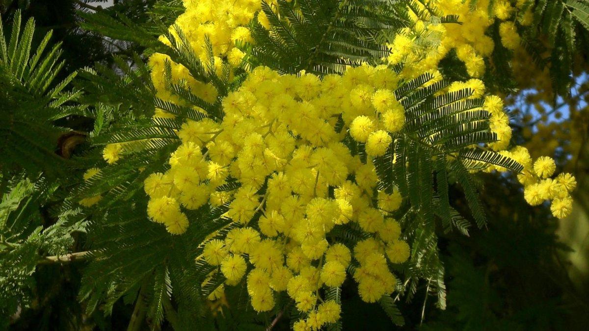 тяжелый мимоза цветок фото на рабочий роллы