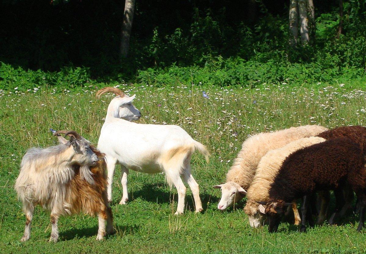 Днем рождения, прикольные картинки коз и овец