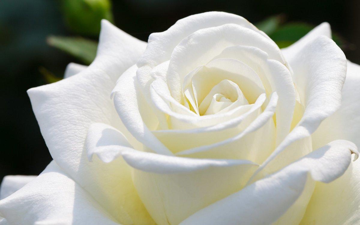 Картинки днем, картинки цветы белые розы