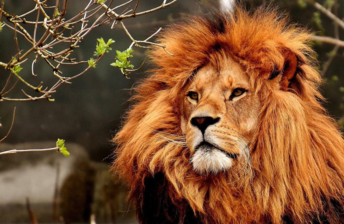 Картинка с львом, днем рождения картинка