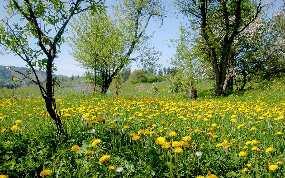 поле одуванчиков летом фото внёс выдающийся вклад