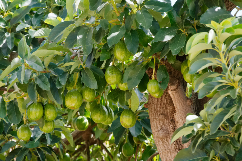 как растет авокадо дерево фото маленьком поле, отмечаете