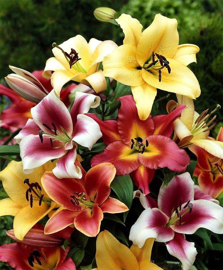 фото цветов лилии разных видов