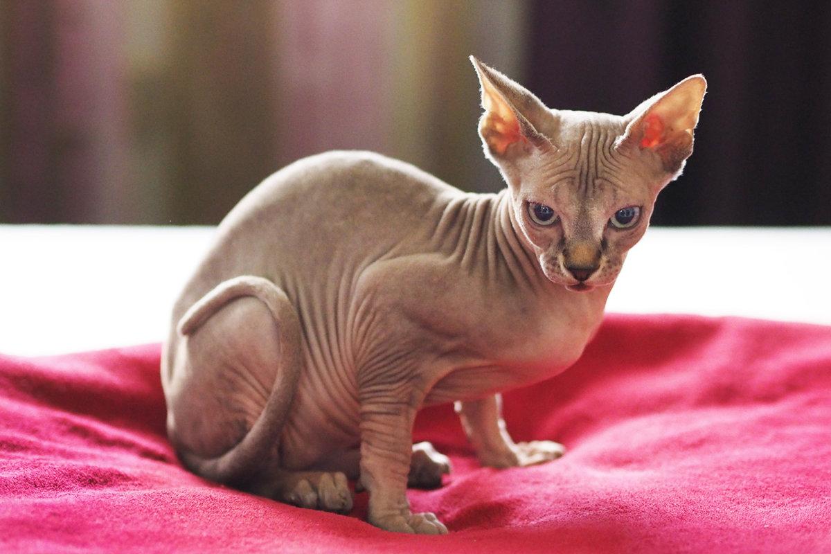 фото лысого кота после трагедии